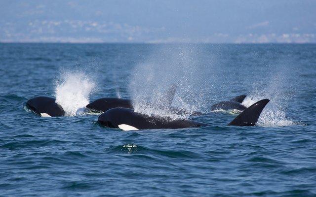 Ein fröhliches Hallo von den Orcas!