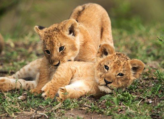 Löwenbabys in Namibia