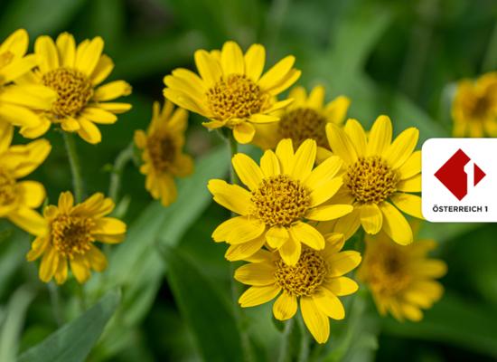 Ö1 Kinderuni: Warum müssen Wildpflanzen geschützt werden?