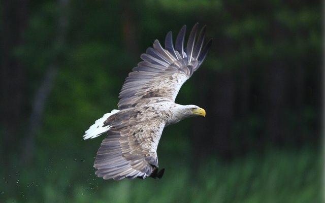 Der majestätische Seeadler im Flug ...