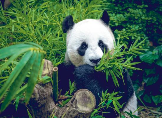 Wie gut kennst du den Großen Panda?