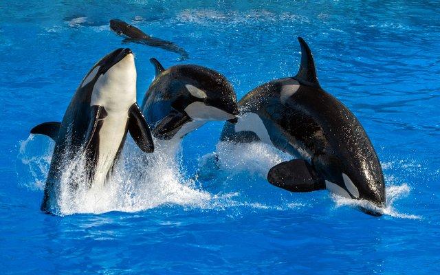 An der hübschen schwarz-weißen Zeichnung kannst du Schwertwale leicht erkennen.