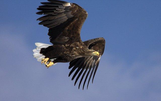 Der Seeadler ist der größte Jäger am heimischen Himmel.