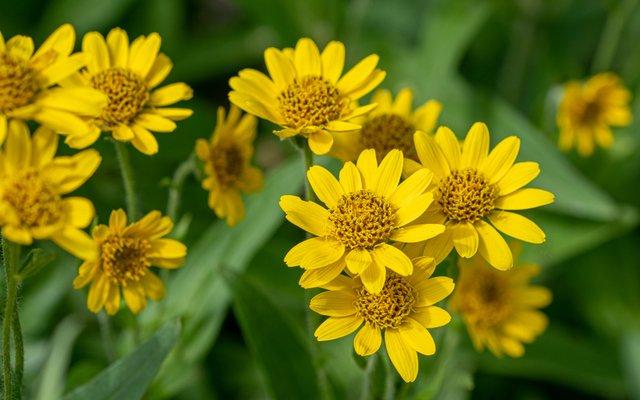 Die Heilpflanze Arnika ist in Österreich sehr selten geworden und gefährdet.